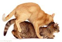 Tanda-Kucing-Jantan-Berhasil-Kawin