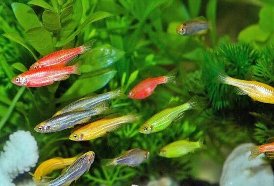 Ikan-Neon
