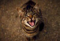 Alasan-Kucing-Mengeong-Keras-Di-Malam-Hari