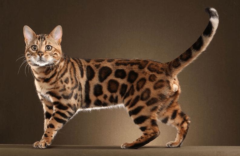Cara-Memelihara-Kucing-Hutan-Agar-Jinak