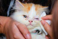 Cara-Menghilangkan-Kotoran-Mata-Pada-Kucing-Persia