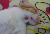 Cara-Mengobati-Bisul-Pada-Kucing