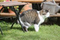 Cara-Mengobati-Kucing-Pipis-Terus