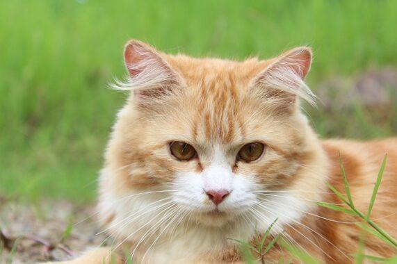 Cara-Merawat-Kucing-Kampung-Agar-Bulunya-Lebat