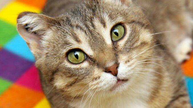 Ciri-Ciri-Kucing-Terkena-Virus