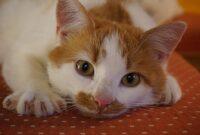 Ciri-Kucing-Sakit-Ginjal