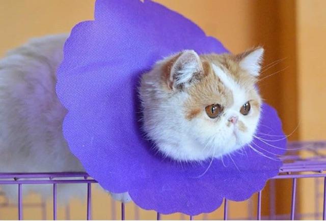Fungsi-Collar-Pada-Kucing