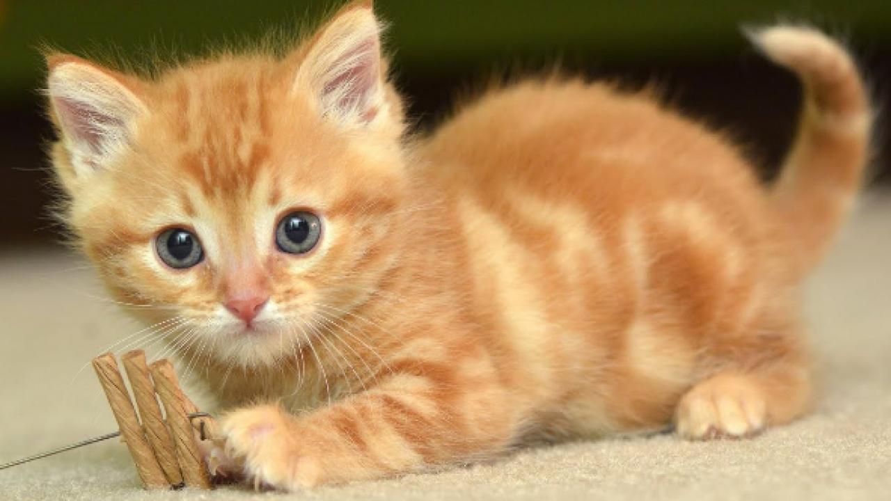 Gangguan-Peredaran-Darah-Pada-Hewan-Kucing