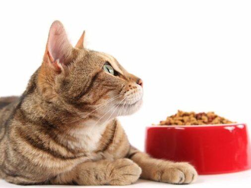 Makanan-Untuk-Kucing-Hamil