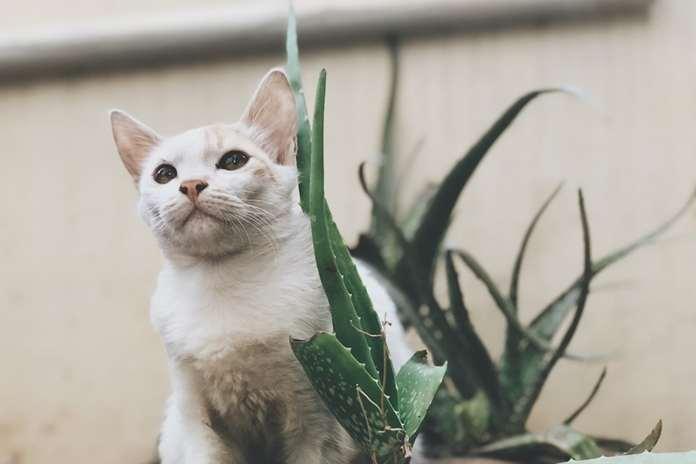 Manfaat-Lidah-Buaya-Pada-Kucing