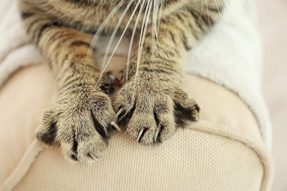 Penyakit-Pada-Kuku-Kucing