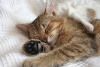 Penyebab-Kucing-Tidur-Terus-dan-Cara-Mengatasinya