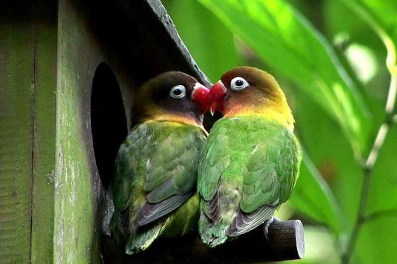 13 Cara Mengetahui Perbedaan Lovebird Jantan Dan Betina
