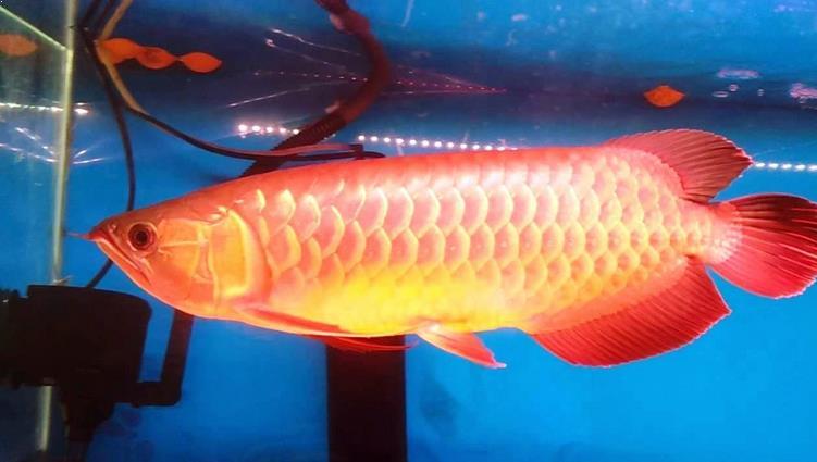 Red Banjar