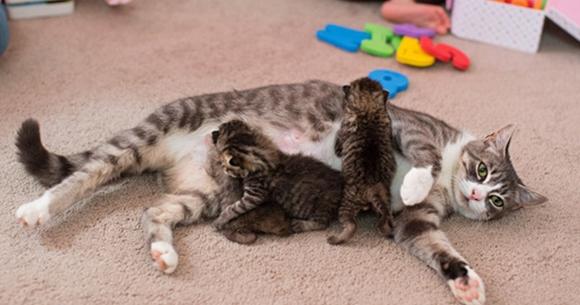 Cara-Agar-Induk-Kucing-Mau-Menyusui-Anaknya