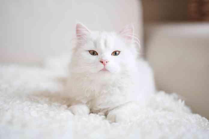 Cara-Alami-Memutihkan-Bulu-Kucing