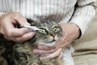 Cara-Mengatasi-Belekan-Pada-Anak-Kucing