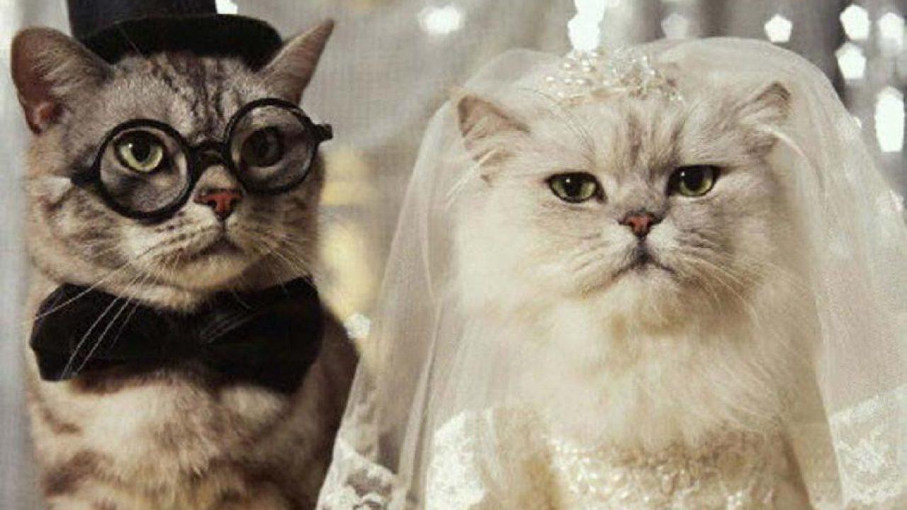 Cara-Mengawinkan-Kucing-Persia-Dengan-Kucing-Kampung