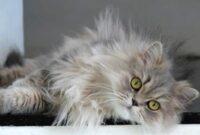 Cara-Menghilangkan-Minyak-Pada-Bulu-Kucing