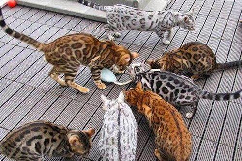 Cara-Menyilangkan-Warna-Kucing