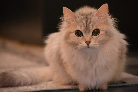 Cara-Merawat-Kucing-Loka-Agar-Bagus