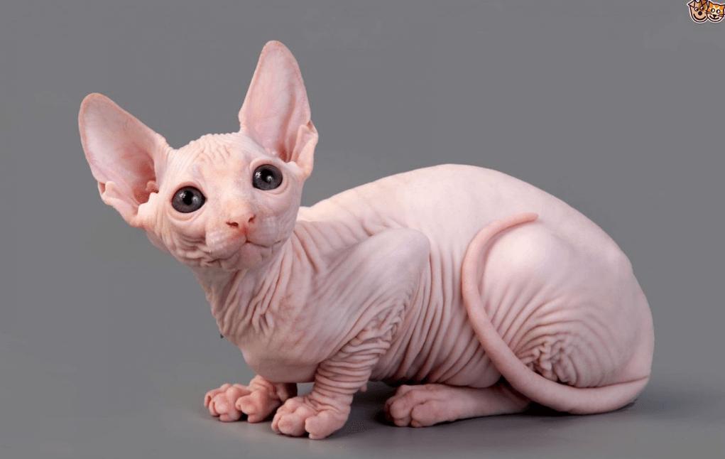 Cara-Merawat-Kucing-Sphynx