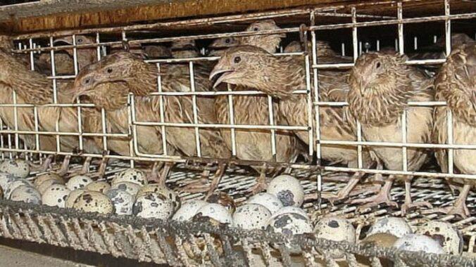Cara-Ternak-Burung-Puyuh