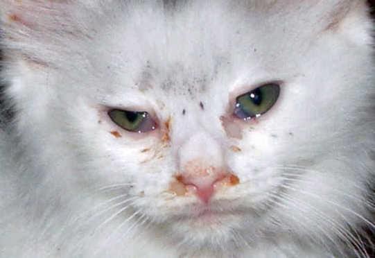 Ciri–ciri-Kucing-Sakit-Mata