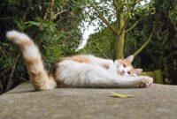 Fungsi-Ekor-Pada-Kucing