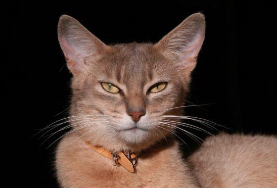 Fungsi-Kumis-Bagi-Kucing