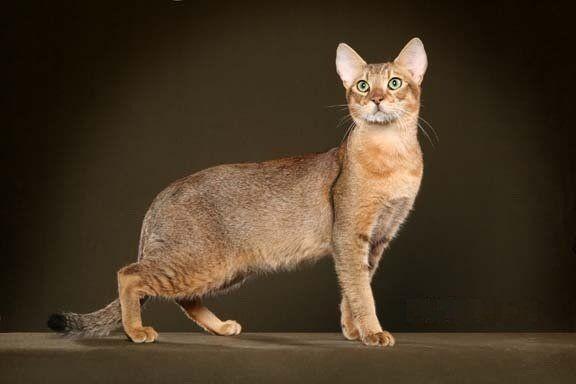 Jenis-Kucing-Chausie