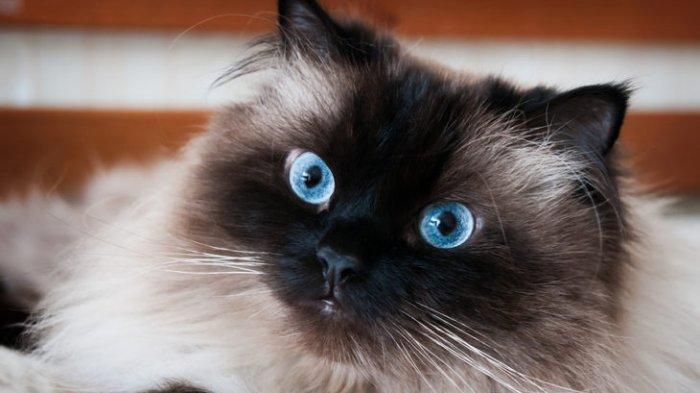 Jenis-Kucing-Himalaya