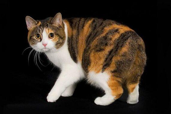 Jenis-Kucing-Manx