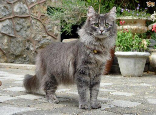 Jenis-Kucing-Nebelung