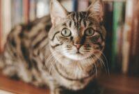 Jenis -jenis-Kucing-Untuk-Di-Pelihara