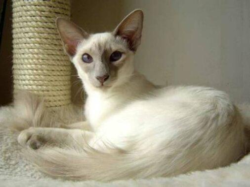 Jenis-kucing-Bali