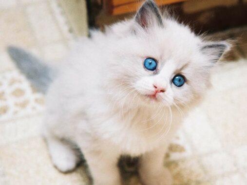 Kucing-Angora-Turki