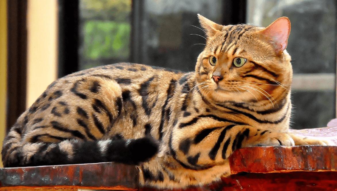 Kucing-Bengal