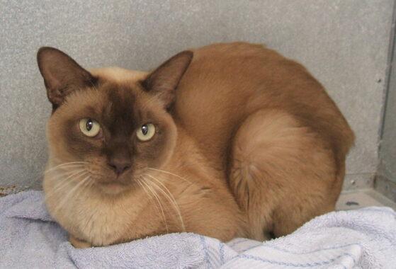 Kucing-Burma