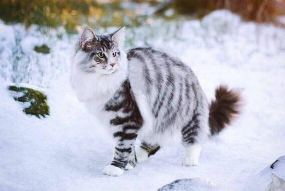 Kucing-Hutan-Norwegia