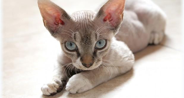 Kucing-Rex-devon
