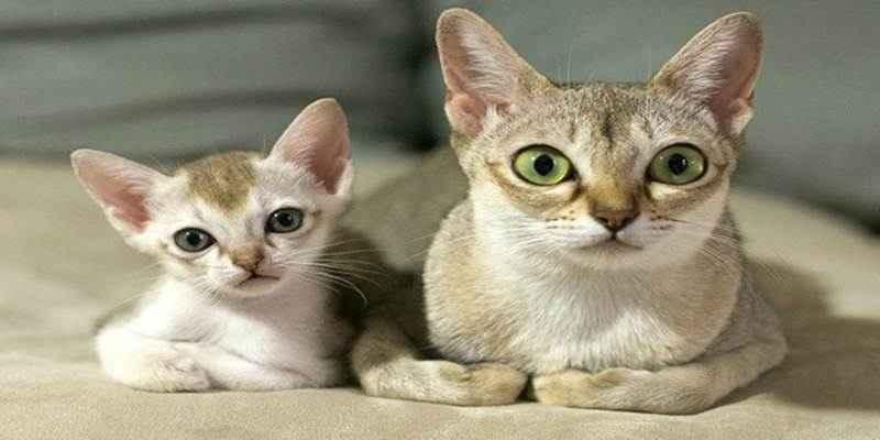 Kucing-Singapura