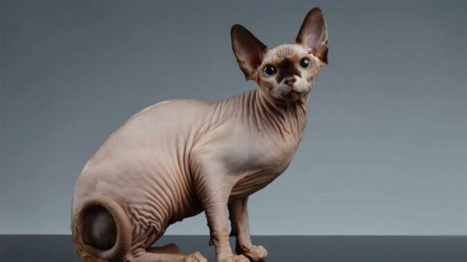Kucing-Sphynx