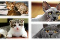 Kucing-Termahal-Di-Dunia