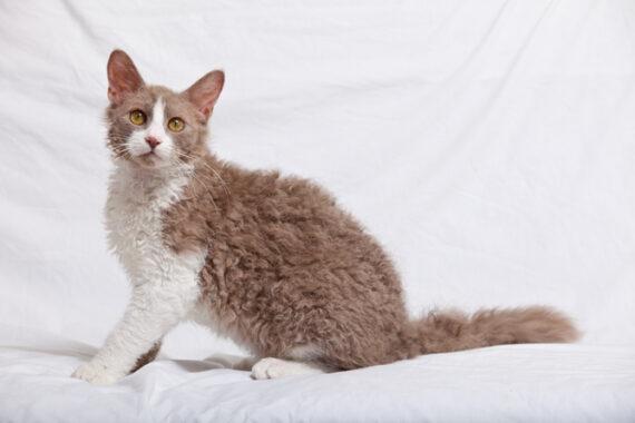 Kucing-berbulu-Laperm