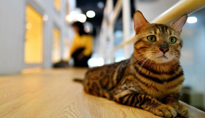 Kucing-mewah