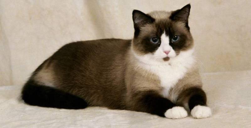 Kucing-sepatu-salju-(Snowshoe)