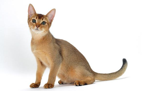 kucing-abyssinian
