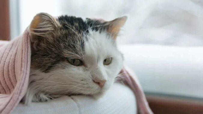 Cara-Mengobati-Kucing-Demam