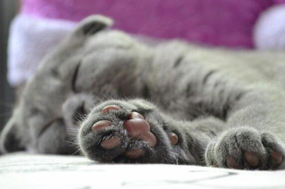 Fungsi-Bantalan-Halus-Pada-Kaki-Kucing